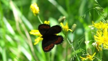 Sommer Sölden Blumenwiese